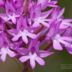 Pyramidal Orchid (<i>Anacamptis pyramidalis</i>), Italy &#8211; Gaeta in 4.march.2009