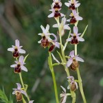 <i>Ophrys</i>, Italy &#8211; Gaeta (Parco regionale Riviera di Ulisse) in 4.april.2009